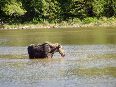 Cow moose in pond.