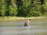 Calf moose in pond.